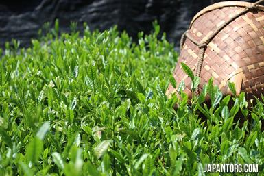 fresh-tea-leaves1
