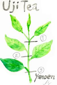 tea-leaves-200original